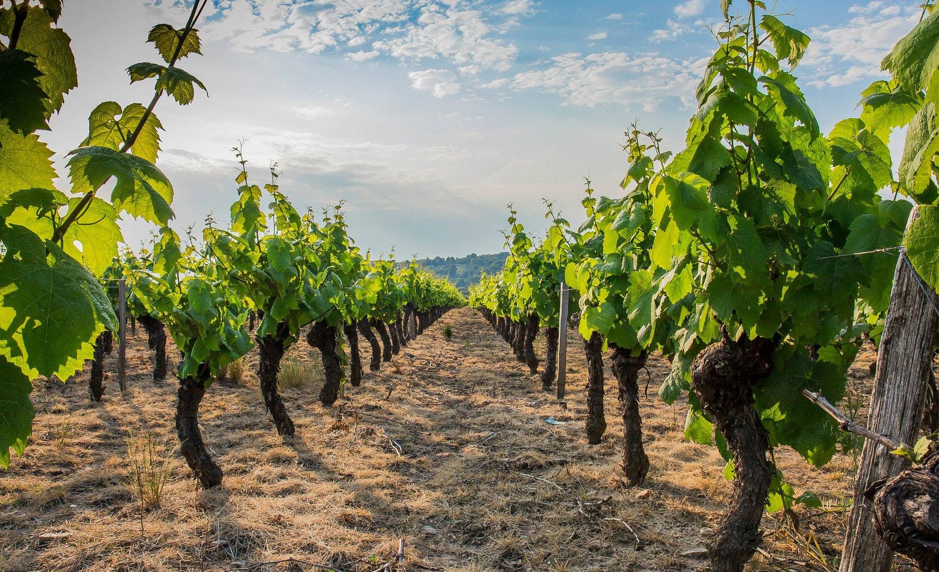 vins beaujolais, le beaujolais nouveau.jpg